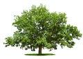 Big tree - oak isolated on a white Royalty Free Stock Photo