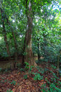 Big tree rain forest Stock Photography
