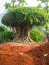 Big tree the on red brown soil Stock Images