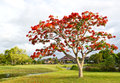 Big tree with red flowers in the park Royalty Free Stock Images