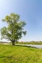Big Tree On River Bank In Summ...