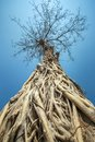 Big tree with roots against blue sky Royalty Free Stock Photo
