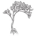 Big tree with roots and leaves drawing made ​​by hand without a trace Royalty Free Stock Image