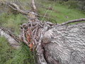 Big tree trunk that fell of a caused by a severe storm Stock Image