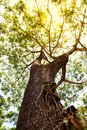 Big Tree trunk Royalty Free Stock Photo