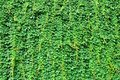Big wall covered by green ivy leaves Royalty Free Stock Photo