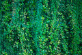 Big wall of ivy wine green leaves. Green background texture. Royalty Free Stock Photo