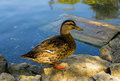 Big water bird duck standing in profile against Royalty Free Stock Photo