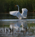Big white egret Egreta alba spreading wings Royalty Free Stock Photography