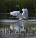 Big white egret Egreta alba spreading wings Royalty Free Stock Photography