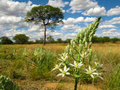 Big white flower with a savannah landscape with camel thorn acacia tree on a background in central Namibia, South Africa Royalty Free Stock Photo