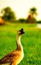 A big white goose. Stock Photos