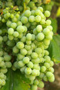 Big white grape cluster Stock Photos