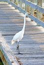Big White Heron on a beach walkway Royalty Free Stock Photo