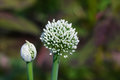 Big white onion flowers in garden Royalty Free Stock Photo
