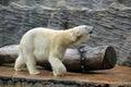 Big white polar bear walking slow photo Royalty Free Stock Photo