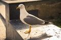 Big white seagull - glarus bird Royalty Free Stock Photo