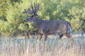 Big whitetail buck coming out of velvet huge phase Stock Photo