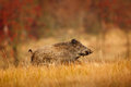 Big Wild boar, Sus scrofa, running in the grass meadow, red autumn forest in background Royalty Free Stock Photo