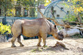 Big wild rhinoceros in a zoo Royalty Free Stock Photo