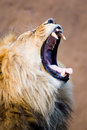 Big Yawn Royalty Free Stock Images