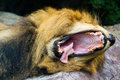Big Yawn of Lion Stock Photo