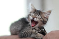 Big yawn for a little kitten sleepy baby yawning real with it s mouth wide open Royalty Free Stock Images