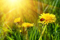 Big yellow dandelions in the grass Royalty Free Stock Photo