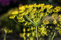 Big yellow dill flower