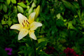 Big yellow lily flower on a blurry garden background on a summer day Royalty Free Stock Photo