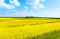 Big yellow rapeseed flowers field color fields growing in eastern europe on spring sunny day with few clouds Stock Photo