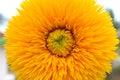 Big Yellow Sunflower Royalty Free Stock Photo