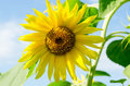 Big yellow sunflower in front of light blue sky Royalty Free Stock Photo