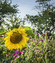 Big yellow sunflower on the natural background of wild flowers and the blue sky Royalty Free Stock Photo
