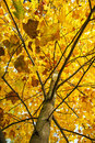 Big yellow tree, autumn scene, colorful november, vertical compo Royalty Free Stock Photo