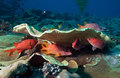 Bigeye fish and coral reef pacific ocean palau micronesia Royalty Free Stock Photo