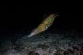 Bigfin Reef Squid Near Seafloor at Night Royalty Free Stock Photo