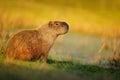 Biggest mouse, Capybara, Hydrochoerus hydrochaeris, with evening light during sunset, Pantanal, Brazil Royalty Free Stock Photo