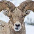 Bighorn closeup a close up of a ram s face Royalty Free Stock Image
