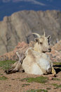 Bighorn ewe and lamb bedded a sheep snuggled up to its mother Royalty Free Stock Photography