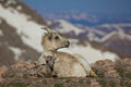 Bighorn ewe and lamb a sheep bedded in the high country Stock Photo