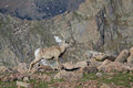 Bighorn ewe a sheep calling to her lamb in the high country Stock Photography