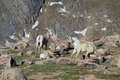 Bighorn ewes and lambs in the alpine a herd of sheep high country Royalty Free Stock Photos