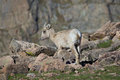 Bighorn lamb nursing a sheep ewe and in the high country Royalty Free Stock Photography