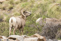Bighorn ram eating browse Royalty Free Stock Photo
