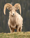 Bighorn Ram Looking Out Royalty Free Stock Photo