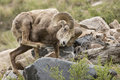 Bighorn ram in rocky mountains scratching self with leg and hoof Royalty Free Stock Image