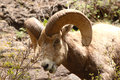 Bighorn ram taking a bite of shrub in colorado Stock Photo