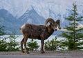 Bighorn sheep in banff national park palliser exhibition viewpoint lake minnewanka ab canada Royalty Free Stock Image