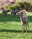 Bighorn sheep in boulder city nevada Stock Images